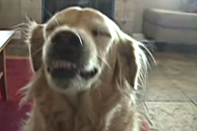 Gracie_SmilingGoldenRetriever