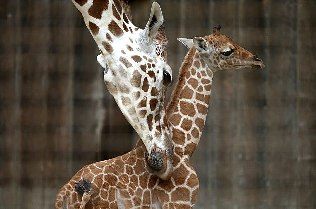 Baby Giraffe Born At San Francisco Zoo